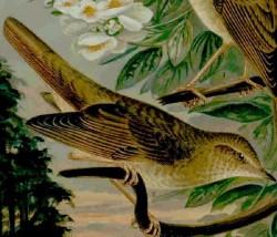 Näktergal (Luscinia luscinia) oansenlig med fantasifull sång