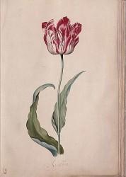 En gammal goding från 1643, på 1600-talet var de polkagrisrandiga och enkelblommande tulpanerna de mest populära