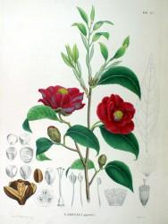 Kamelia (Camellia japonica)
