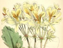 En vild pelargonart (Pelargonium oblongatum) som upptäcktes 1814 i Sydafrika