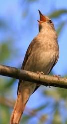 Näktergalen är oansenlig fågel med fantastiska röstresurser.